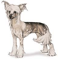 Cristado Chinês (Chinese Crested Dog)