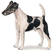 Fox Terrier de Pêlo Curto (Pêlo Liso)