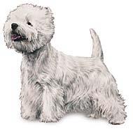 West Highlander Terrier