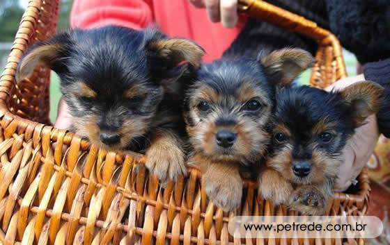 petrede-yorkshire-terrier-03