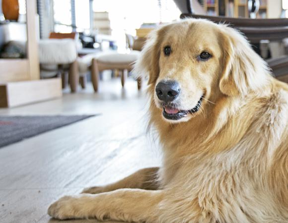 cachorro_grande_apartamento
