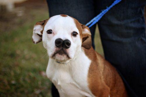 Cachorro-com-nariz-diferente-espera-por-família-que-goste-de-sua-aparência-e-lhe-adote-pdd1-500x333